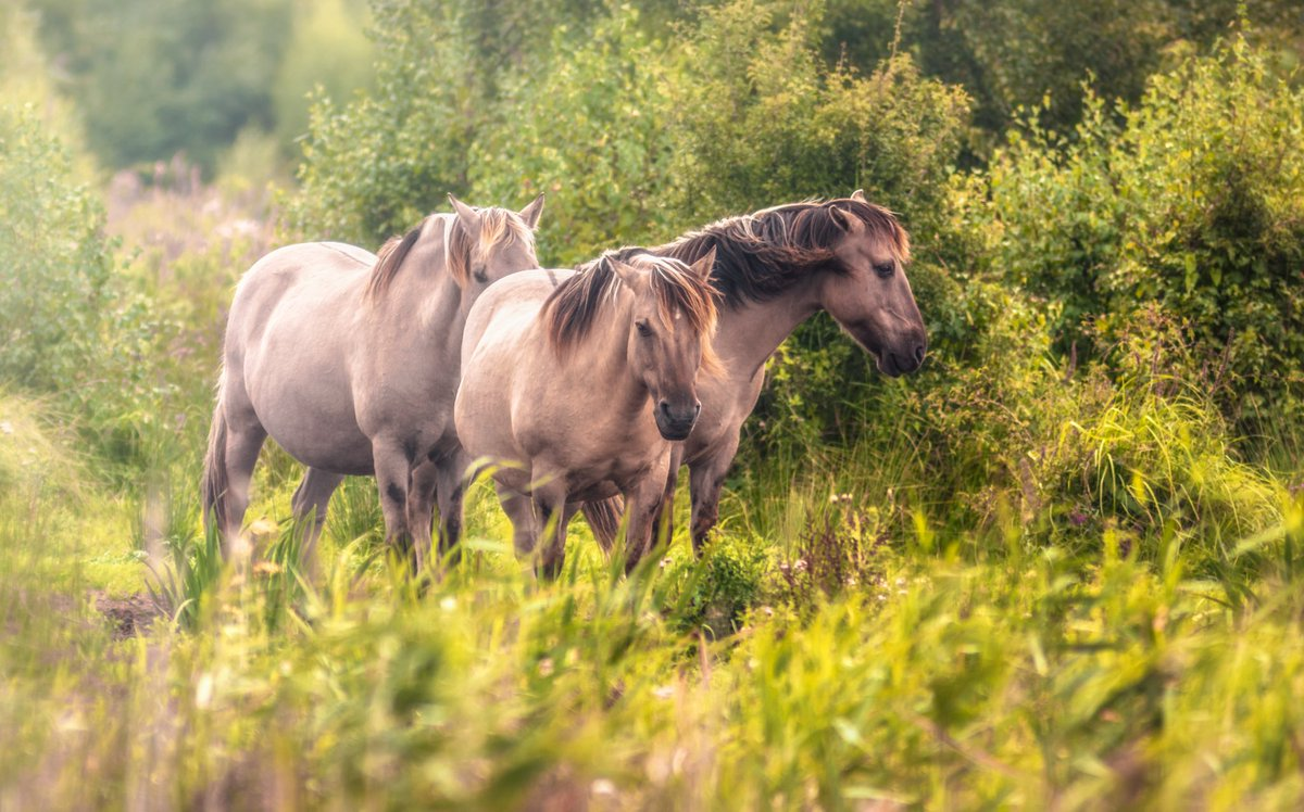Het mytische Konik paard. (beeld via Twitter)